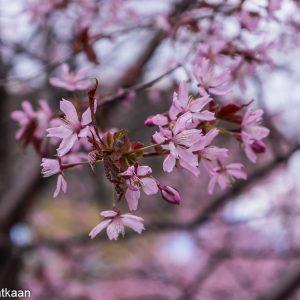 Roihuvuoren kirsikankukkapuisto