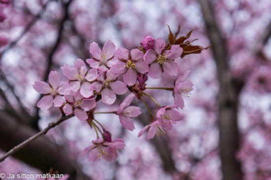Kukkiva kirsikkapuu